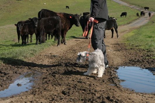 Hobie meets cows on the Bolinas Ridge Trail