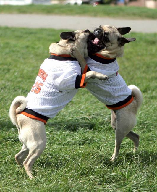 Pugs in SF Giants costumes play at Pug Sunday