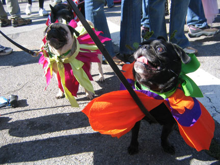Pugs in butterfly costumes